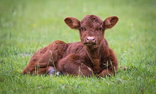 Dairy & Veal Calves